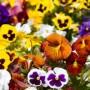 2017 Sandra's Spring Bedding Plant Sale